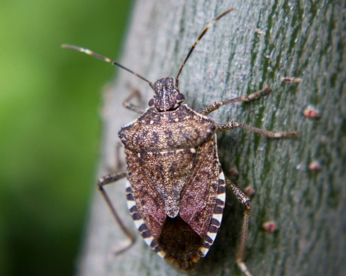 Brown Marmorated Stink Bug. ©iStockphoto.com/ibunt