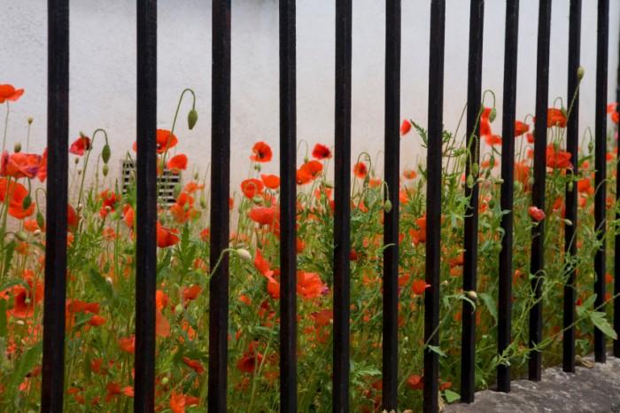Red poppies. ©iStockphoto.com/PKM1
