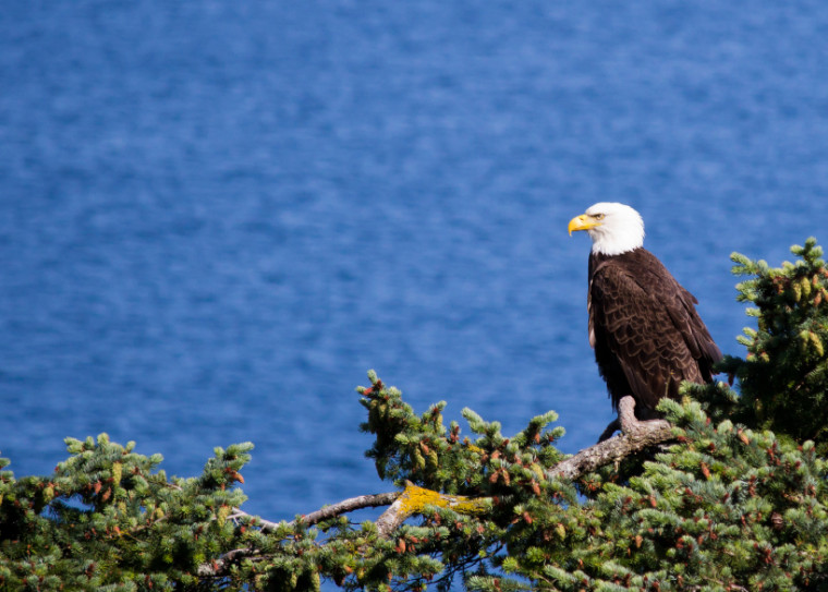 Viewing eagles high in trees surrounding Lake DeGray was easier with binoculars available on the boat. Perched bald eagle. ©iStockphoto.com/nbiebach