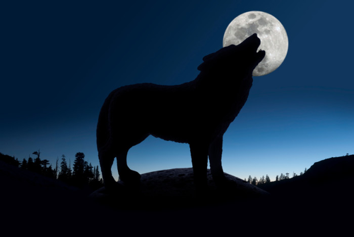 Silhouette of howling wolf against forest skyline and full moon. ©iStockphoto/tntemerson