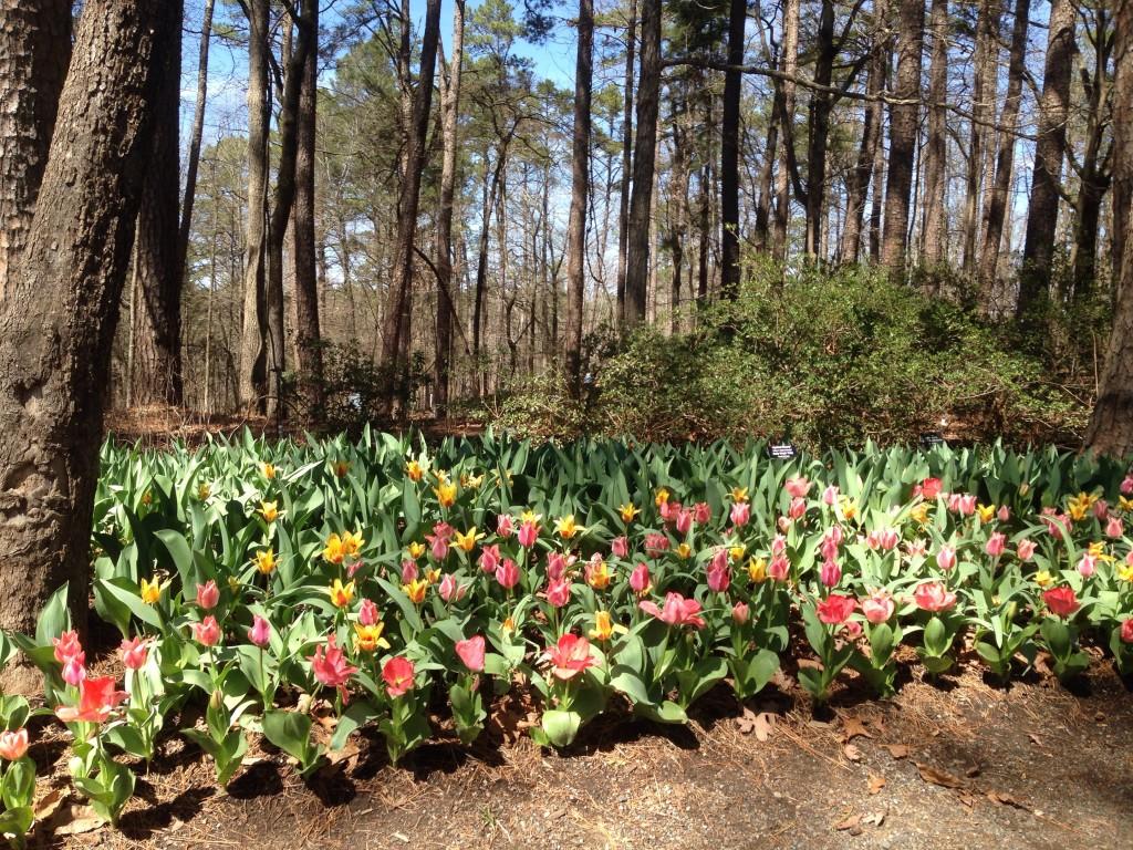 Tulips, Garvan Woodland Gardens. ©D.L. Ewbank