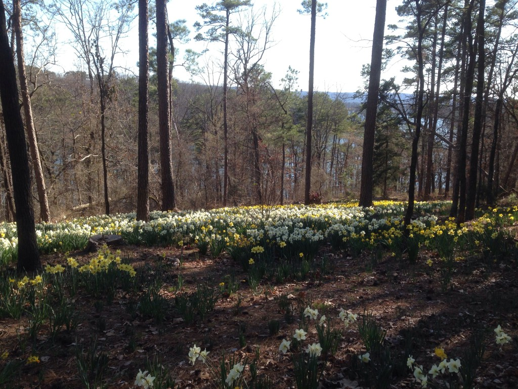 Daffodils, Garvan Woodland Gardens, Hot Springs, Arkansas, March 13, 2014.
